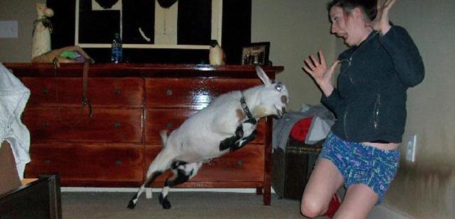 goat-attack.jpg