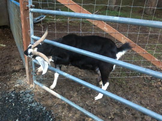 goat-gate.jpg